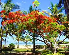 Flame tree su Malol Lailai
