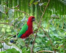 Un pappagallo delle Fiji