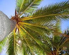 Palma da cocco su Malolo Lailai