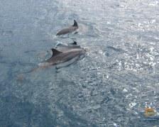 Delfini nelle Mamanuca (foto di Alberto Alberoni)