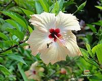 Un hibiscus bianco