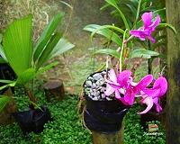 Un'orchidea rosa