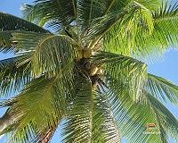 Una palma da cocco