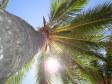 Una palma sulla spiaggia di Musket Cove Resort