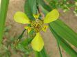 Orchidea Gialla nel giardino dello Sleeping Giant