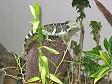 Una Crested Iguana delle Fiji al Kula Eco Park di Sigatoka